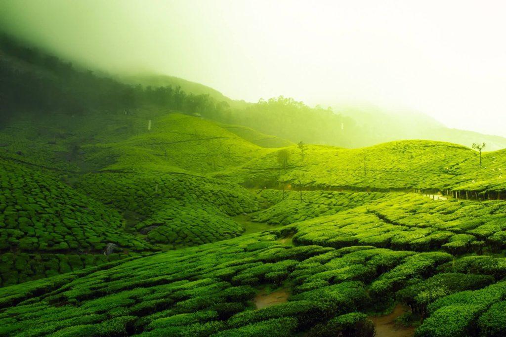 שדות התה במונאר